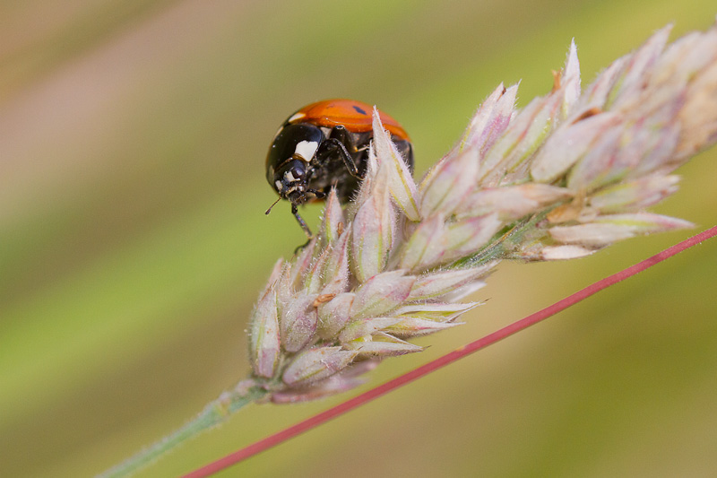 two spot ladybird in pastel meadow grasses