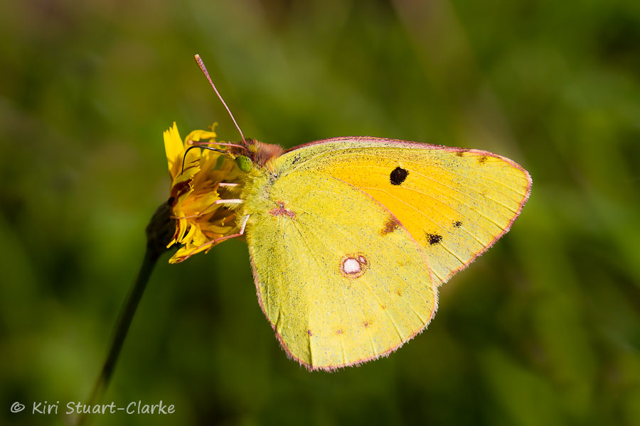 Clouded yellow butterfly nectaring on smooth cat's ear
