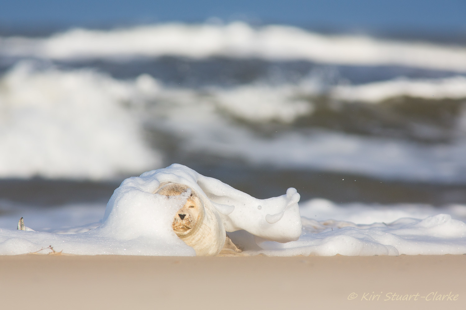 A basking juvenlie common seal is engulfed by a foamy white wave breaking on the sandy beach
