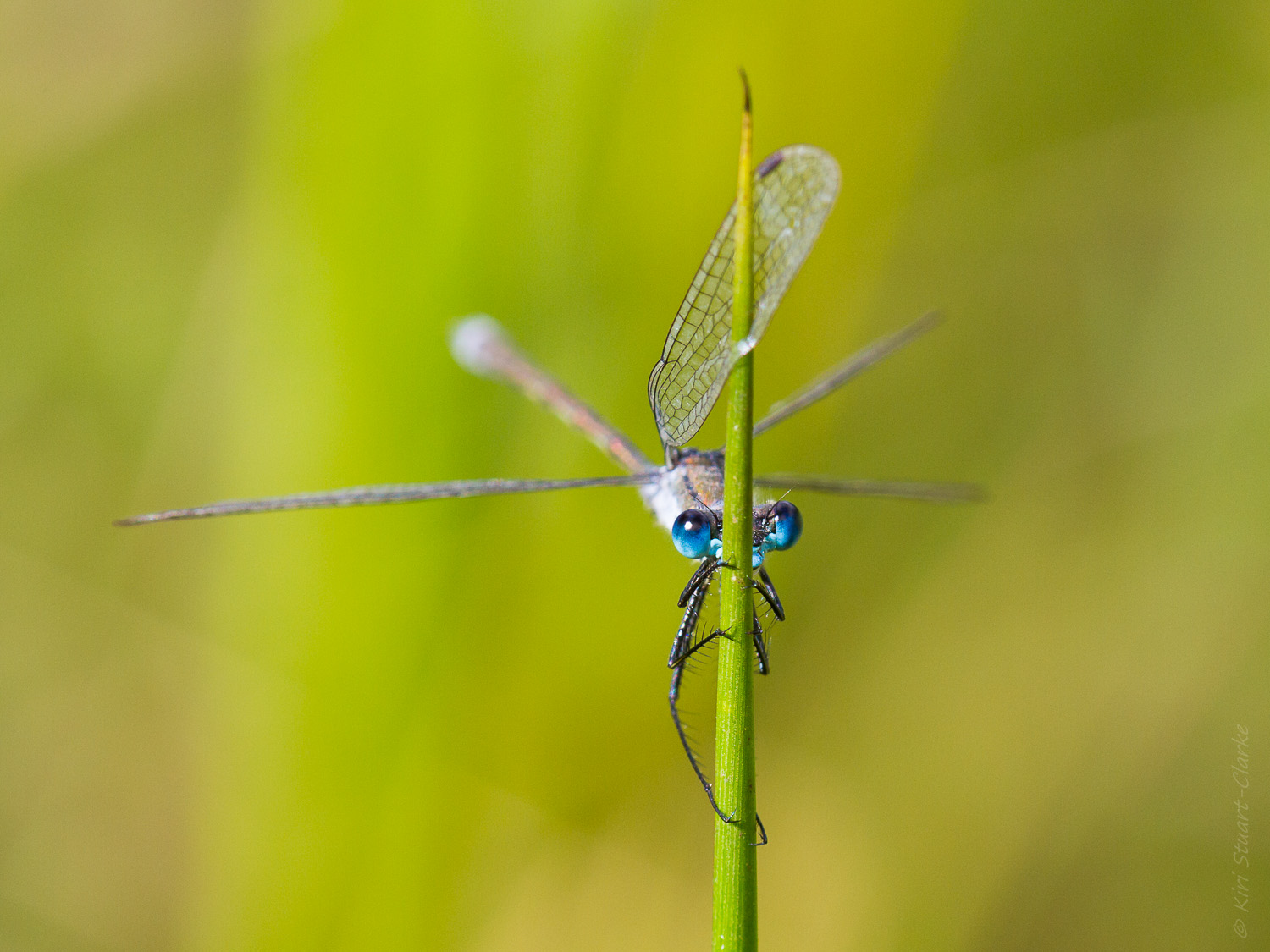 Emerald damselfly on reedtip