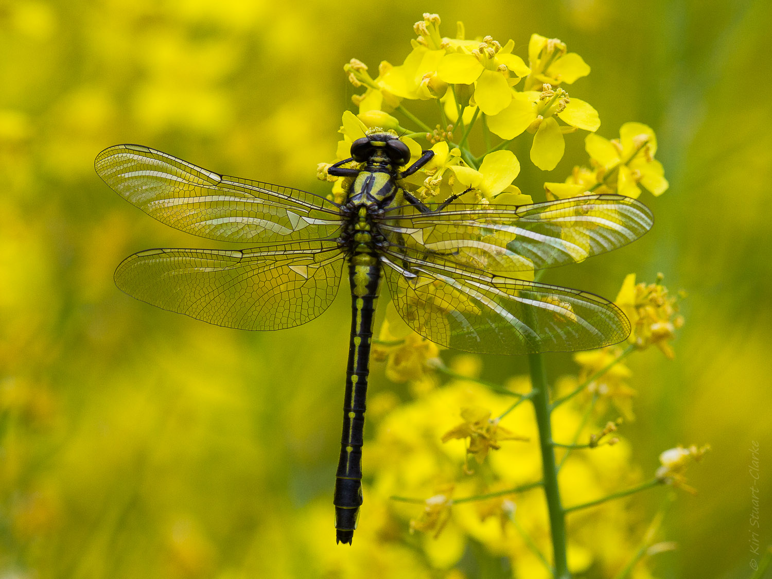 Emerging Dragonfly on Rapeseed