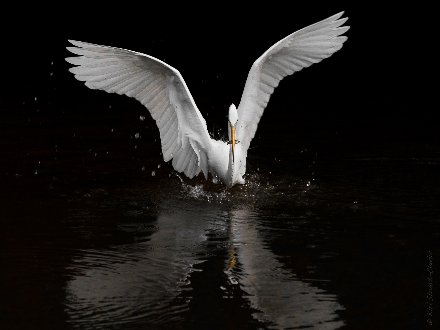 Great Egret in Feeding Frenzy