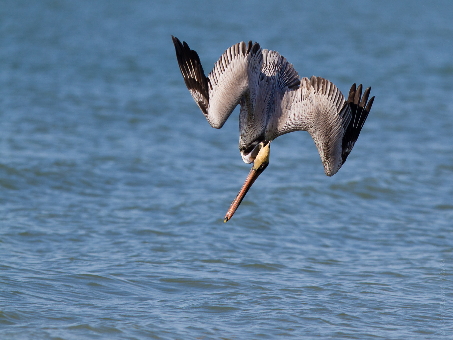 Brown Pelican Bracing for Dive