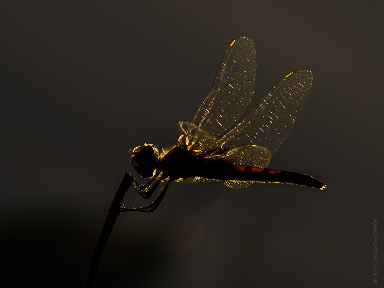 Rimlit dragonfly