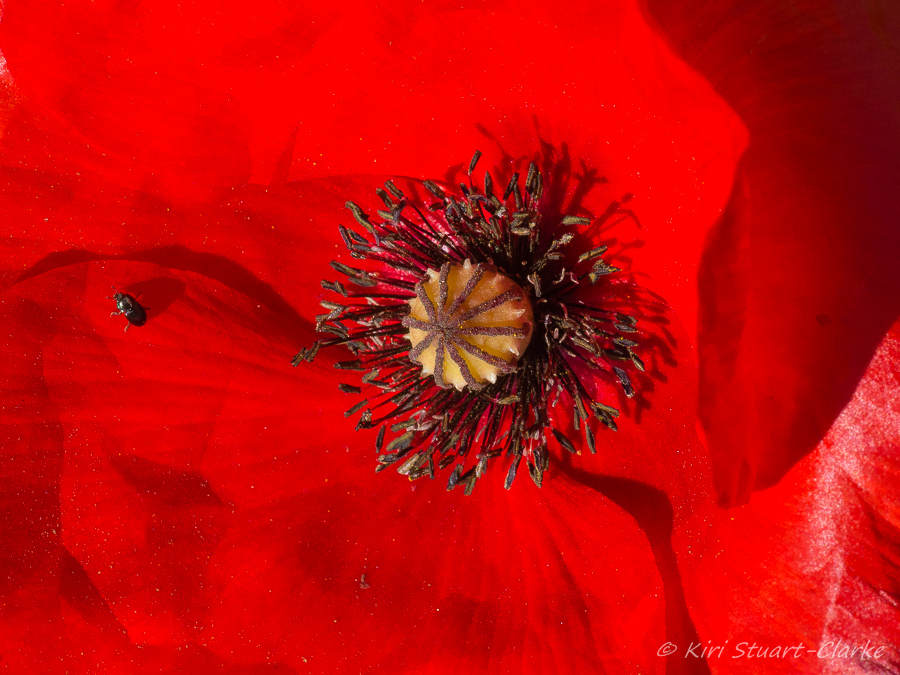 Red Poppy and beetle