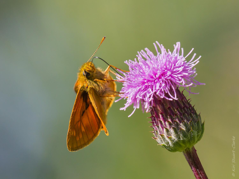 Hesperidae Butterflies - Large Skipper