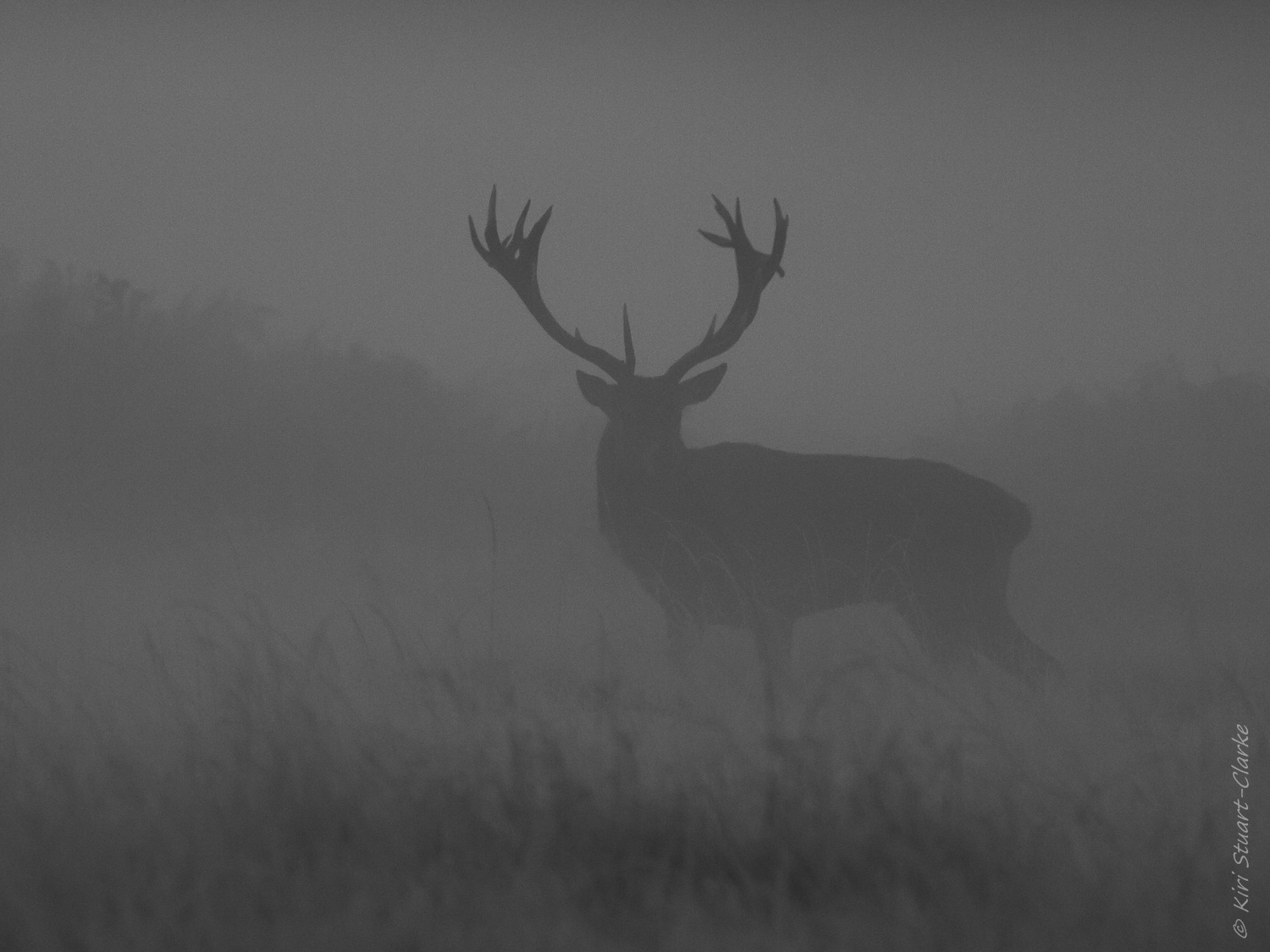Stag Standing Proud