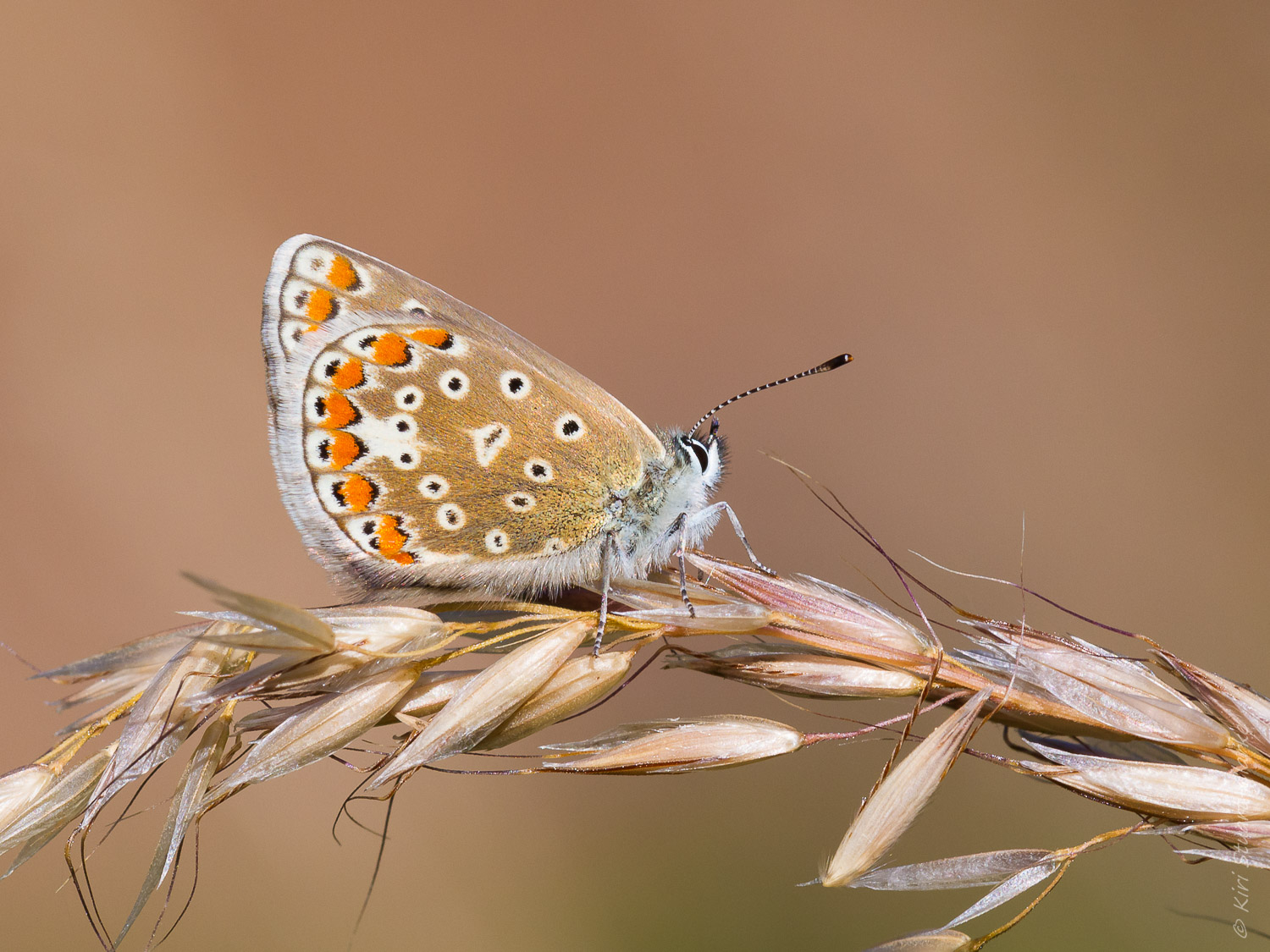 Lycaenidae Butterflies - Common Blue Female