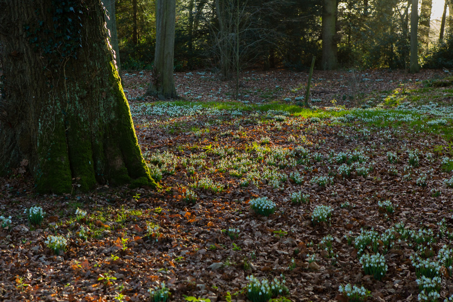 Snowdrops in shaft of light