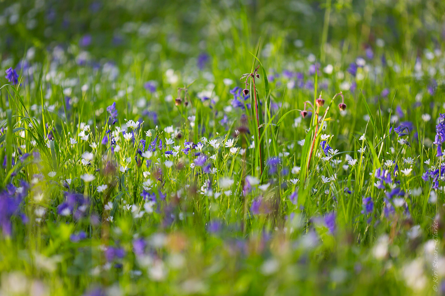 Stitchwort in dappled light