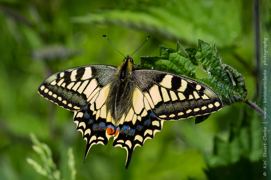 This freshly emerged swallowtail basked with its wings open during cloudy intervals