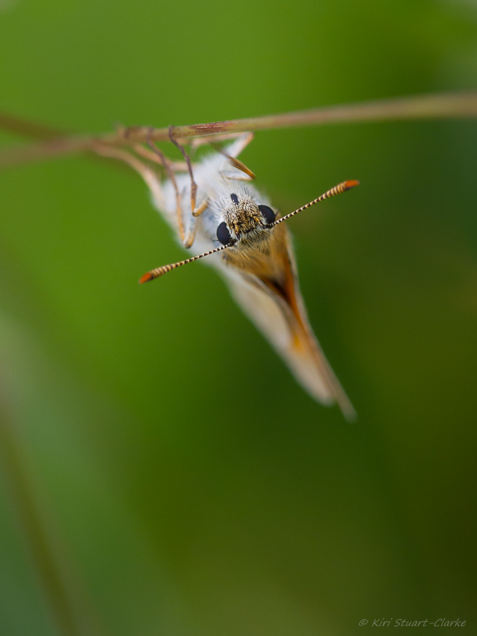 Small Skipper has orange-brown antennae tips