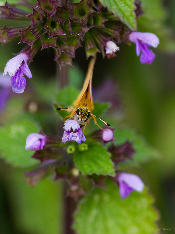 Essex Skipper's black antennae tips are rounded