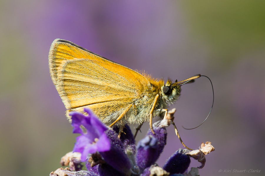 Essex Skipper has a more straw-coloured underwing than the Small Skipper