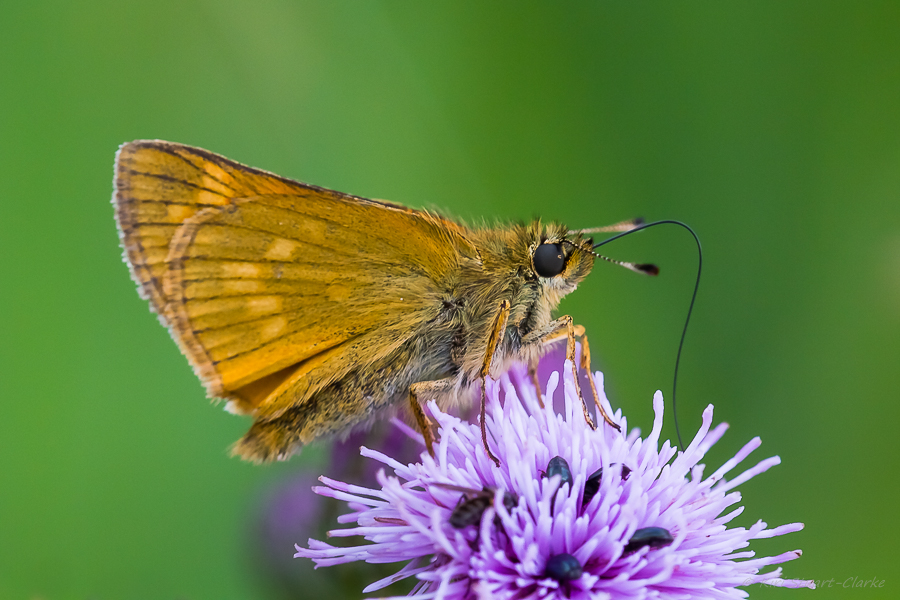 Large Skipper has a checkered pattern visible on its underwings