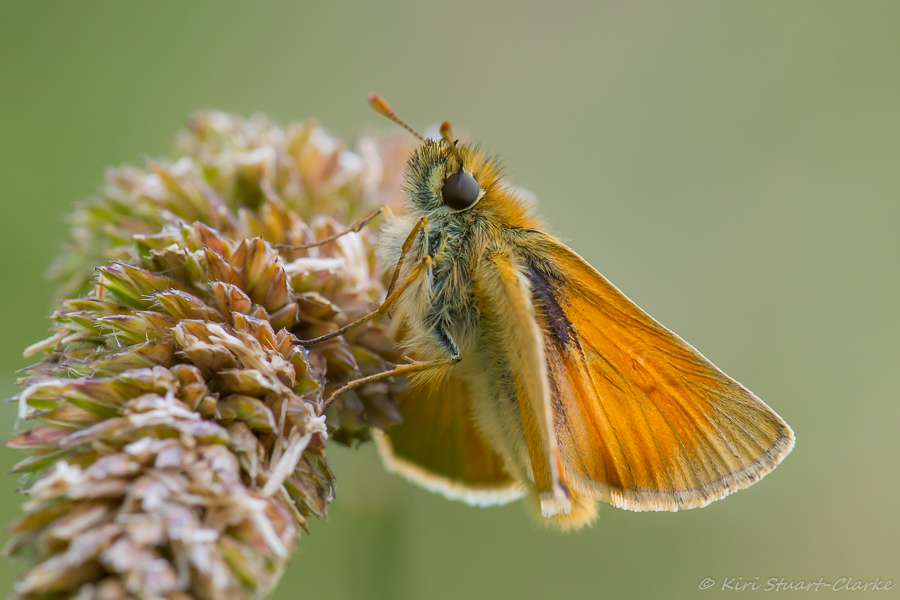 Small Skipper has plain wings when viewed side on
