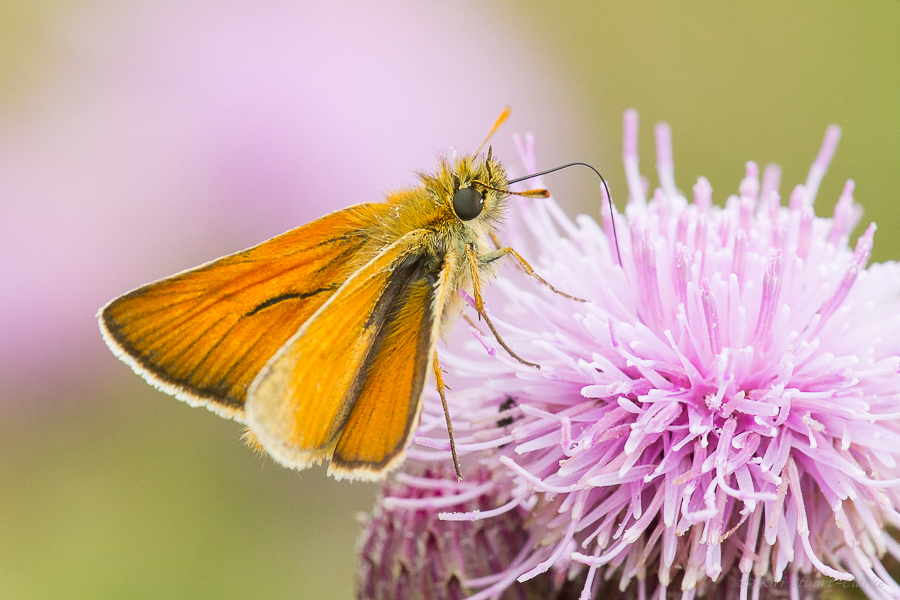 Male Small Skipper has a longer, curved, more prominent gender band