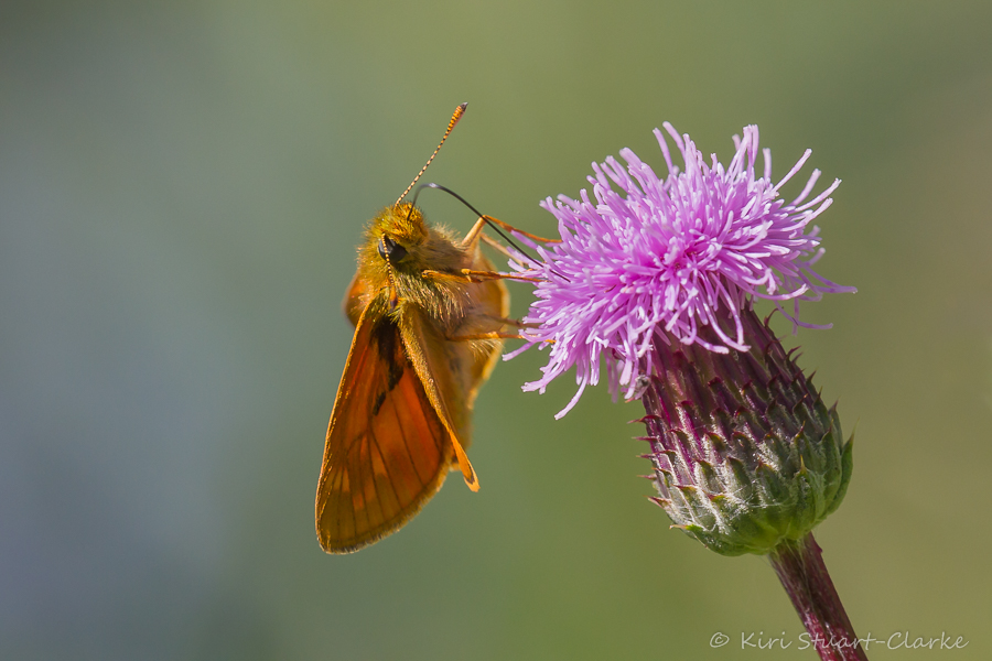Large Skipper nectaring on a creeping thistle