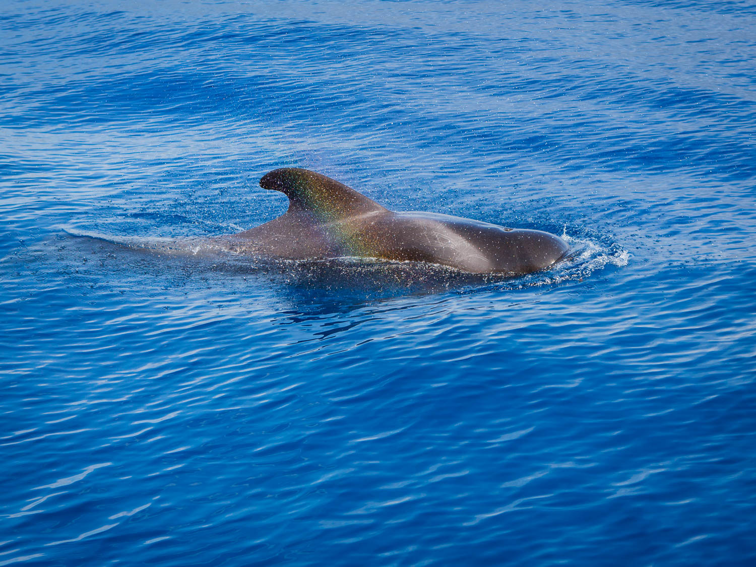 The Rainbow and the Pilot Whale