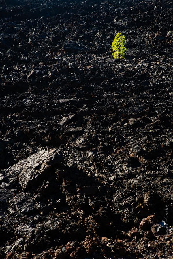 Lone pine amongst lava