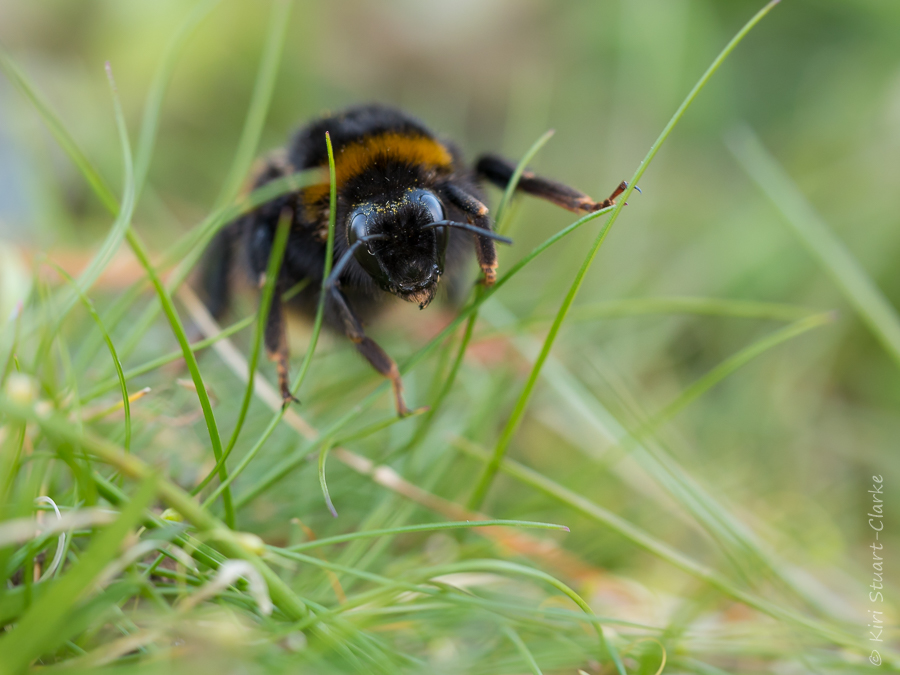 Buff-tailed bummble bee queen