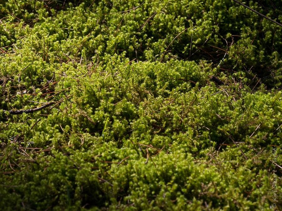Big shaggy moss, aka Rhytidiadelphus triquetrus,at Wells-next-the-Sea in Norfolk