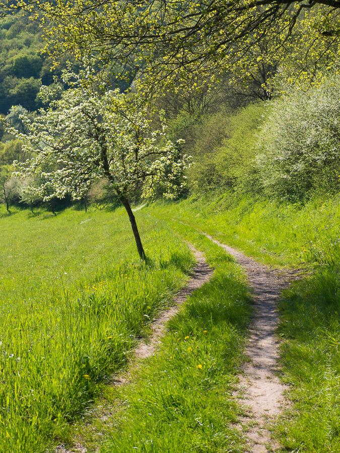 Apple tree on Maar walking trail
