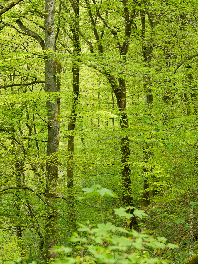 New season's foliage in deciduous woodland on the slopes