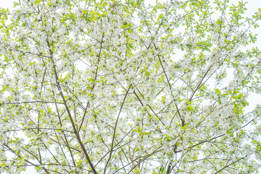 High key apple blossom
