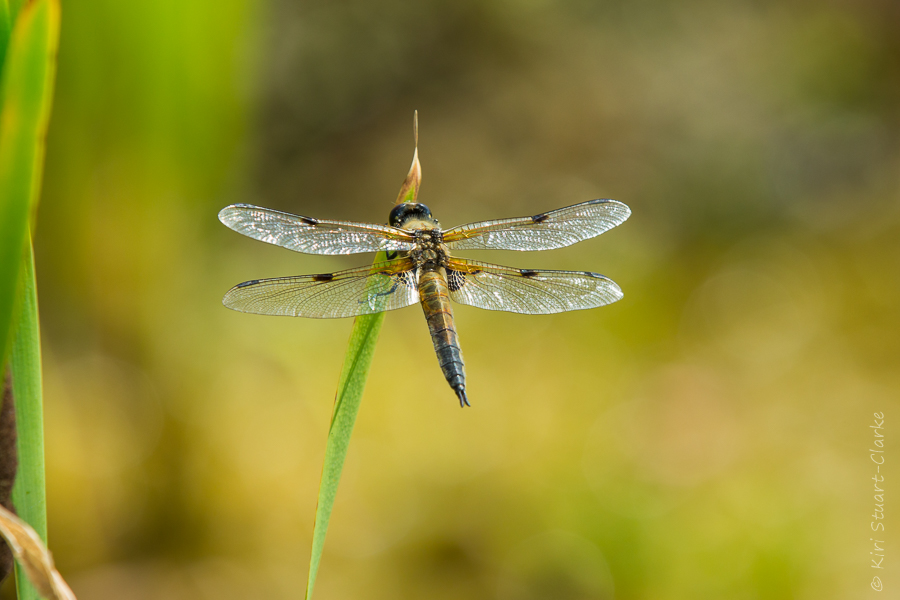 Four-spotted chaser dragonfly basking