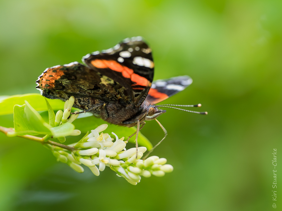 Red admiral butterfly nectaring on garden privet hedge