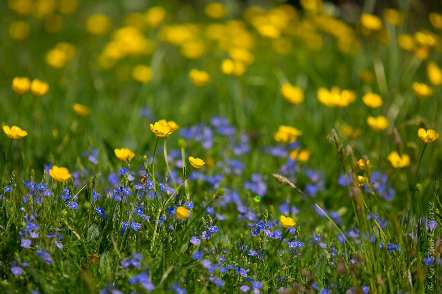 Buttercups and speedwell can be low growing alternatives to a turf lawn