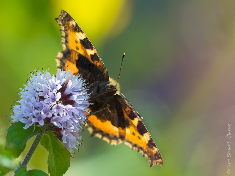 Small tortoiseshell nectaring on water mint flower head