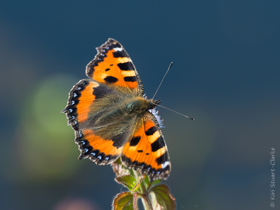 Small tortoiseshell nectaring by pond-4x3
