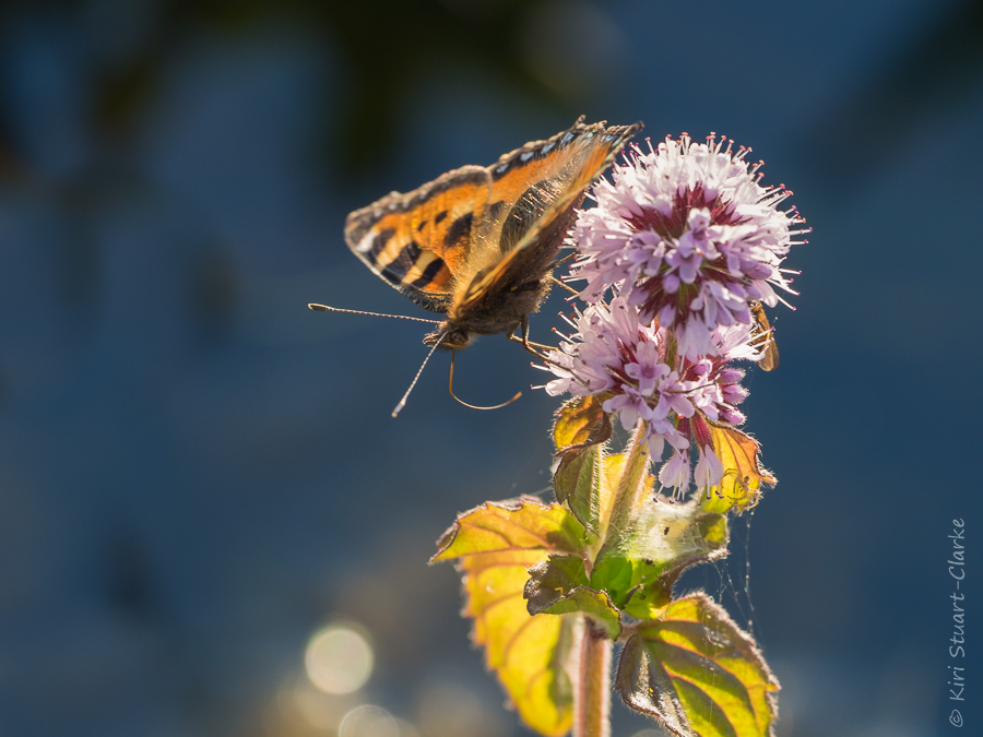 Small tortoiseshell nectarting on water mint flower by pond