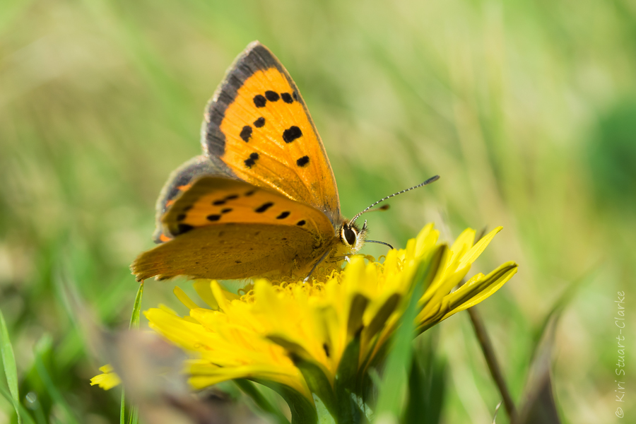 Small copper with golden glinting wing