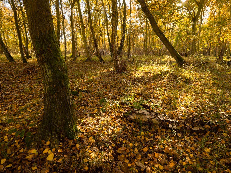 Golden light shining through the autumn canopy onto fallen leaves