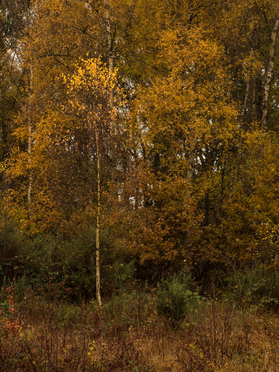 A storm-swept silver birch sapling looses its leaves under leaden skies