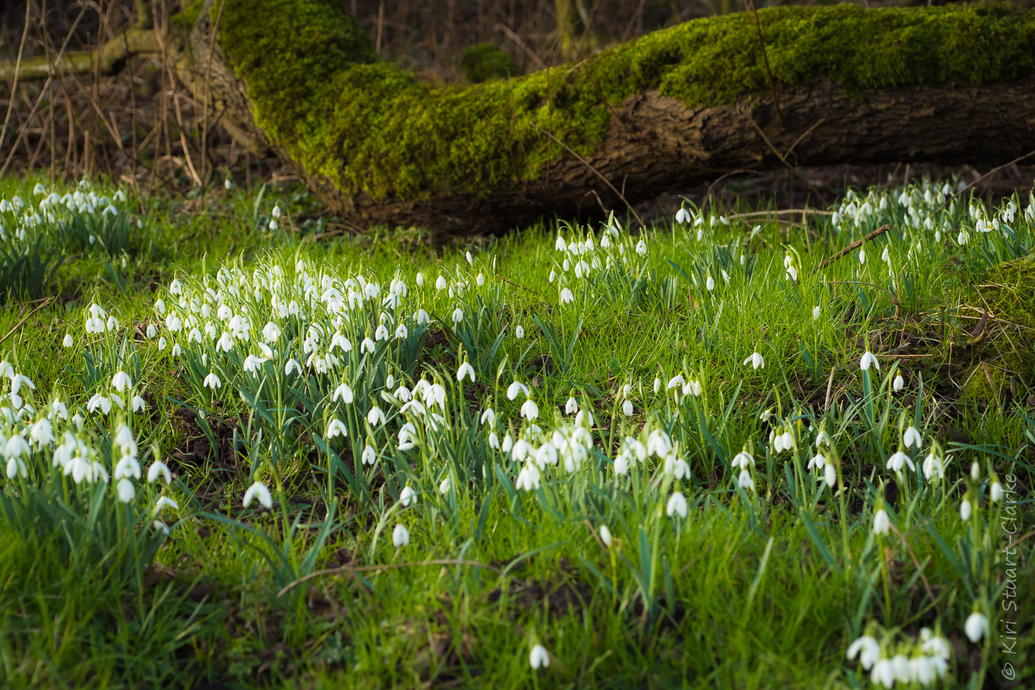 Snowdrops favour damp woodland and stream side habitats