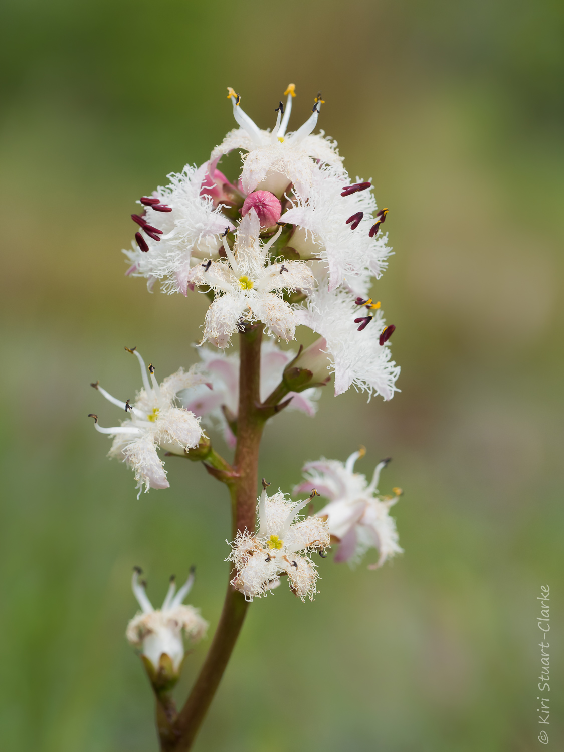 Tall Bogbean flower spikes are used by both adult dragonflies and emerging nymphs
