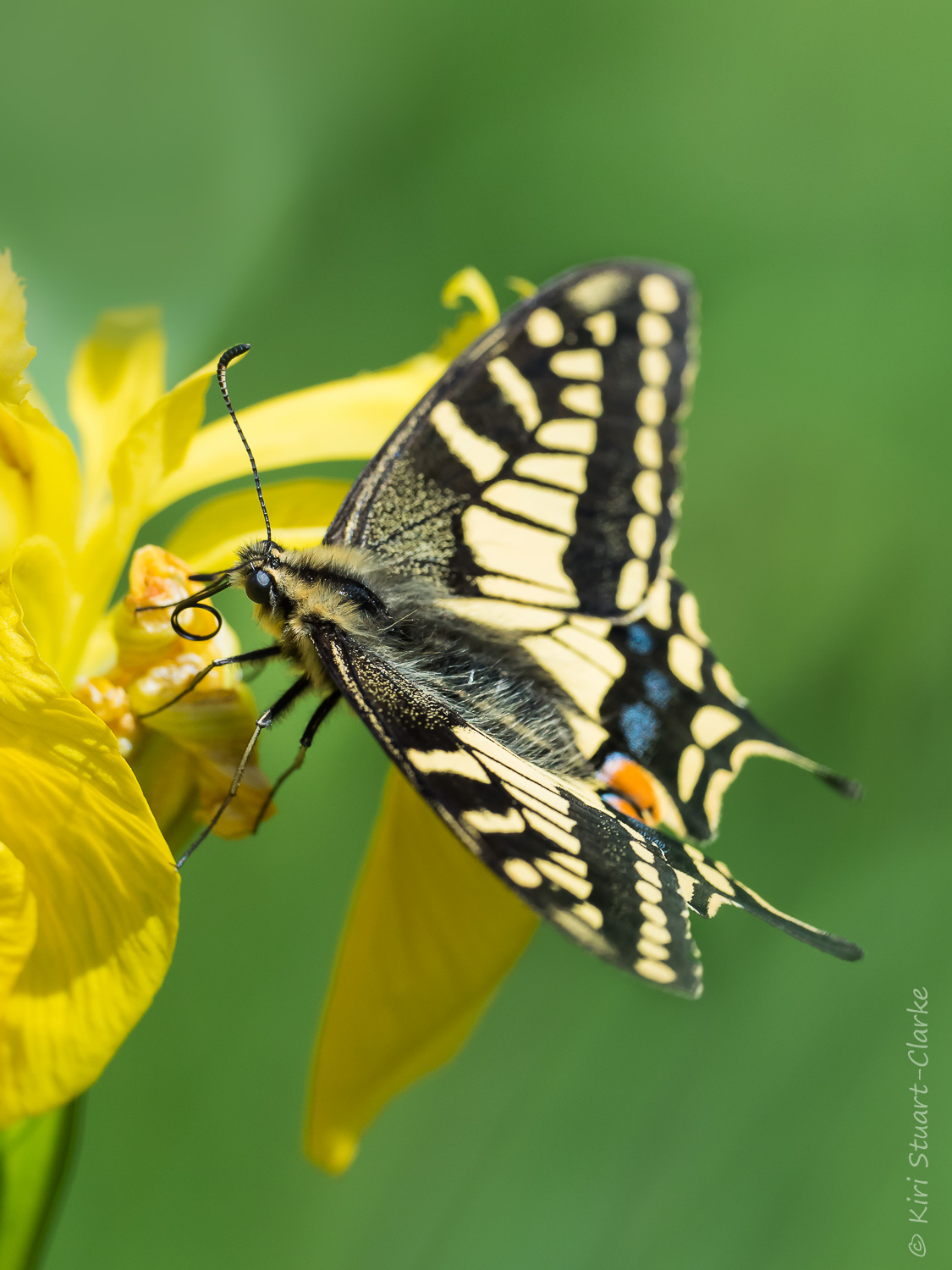 British Swallowtail, found only in Norfolk, busy nectaring on native yellow flag iris flowers. Taken from at least 1.4m away on a 300mm 4/3 crop OMD.