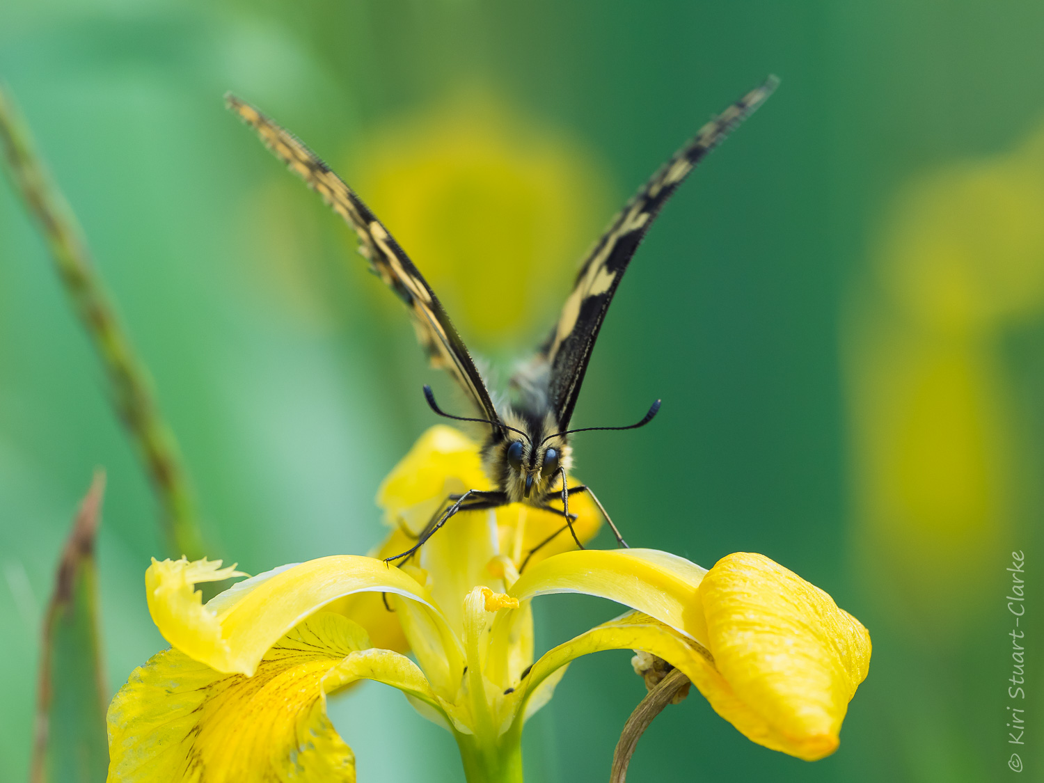 Taking off from a yellow flag iris flower, the British Swallowtail butterfly has been fully protected in UK law since 1992.