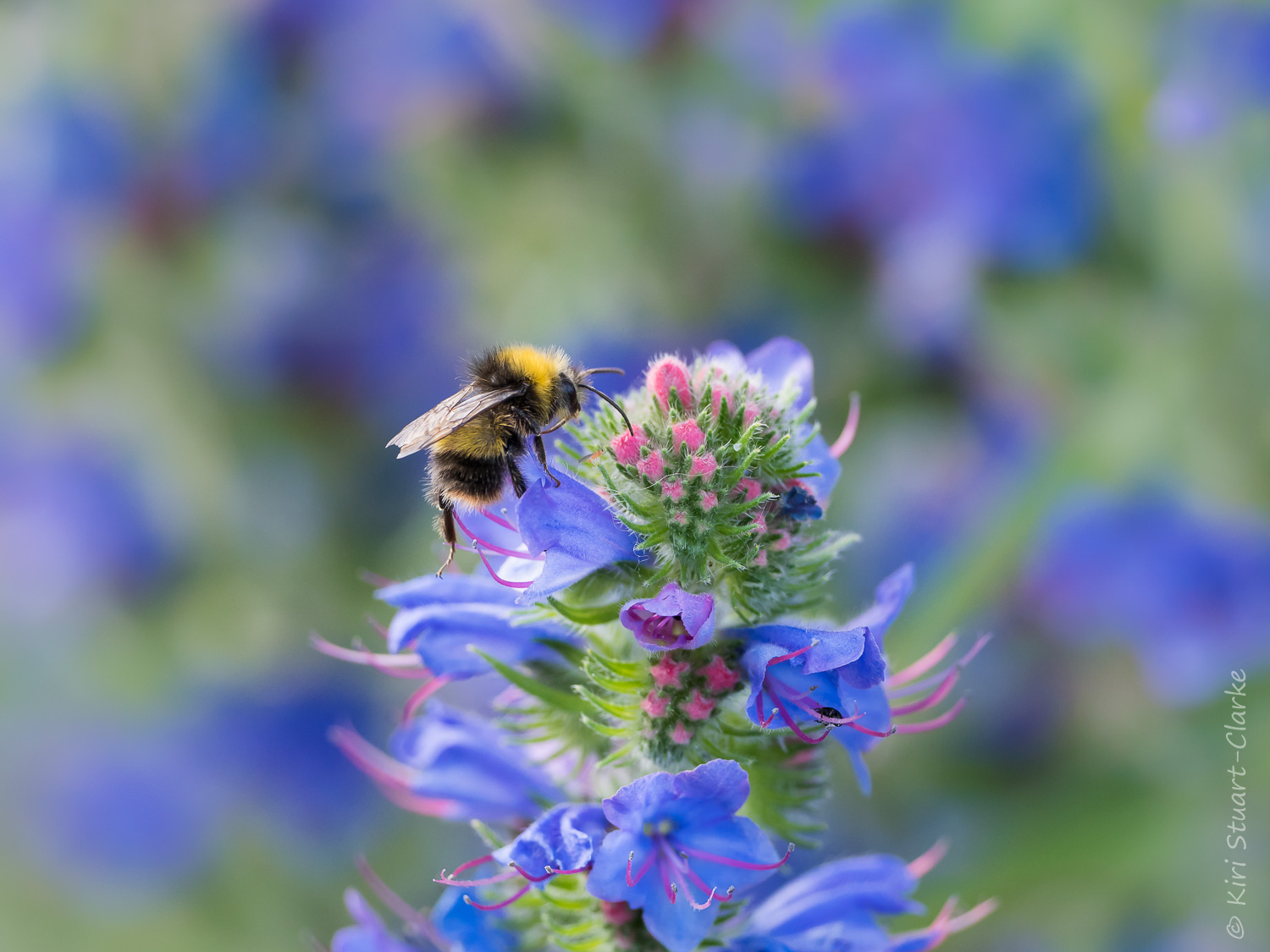 Buff-tailed bumble bee foraging among Viper's-bugloss flowers