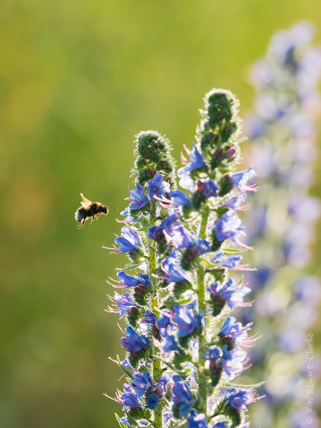 Bee flying towards Viper's-bugloss flower spikes