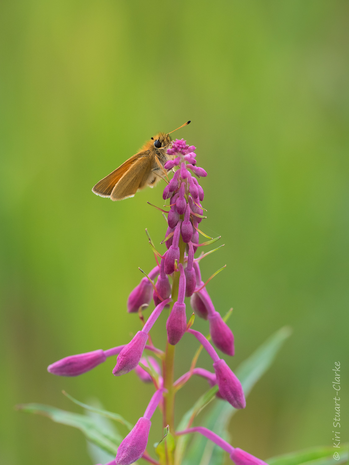 Essex Skipper butterfly perched on a Rosebay Willowherb flower spike