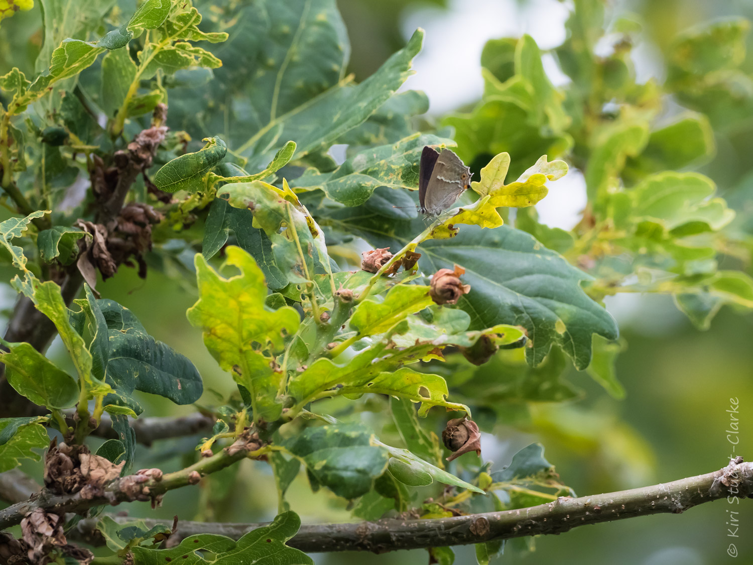 The Oak tree canopy is a habitat for both Purple Emperor and Purple Hairstreak butterflies, which both feed on aphid honeydew