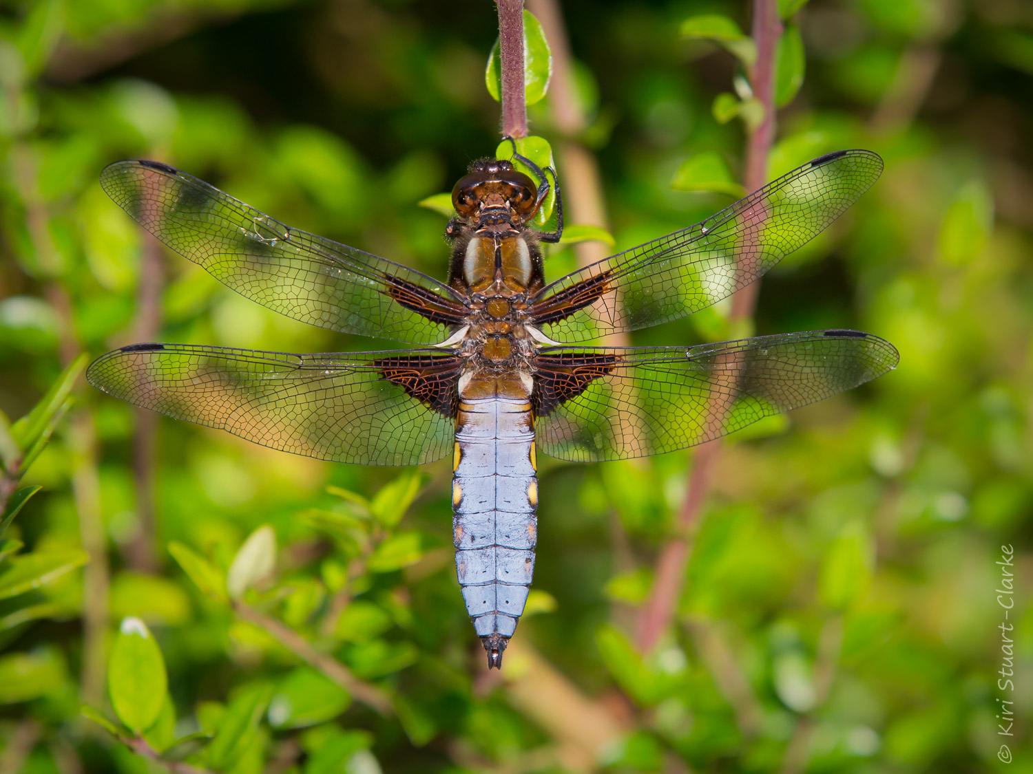 The dusky blue of the male Broad-bodied Chaser dragonfly, Libellula depressa