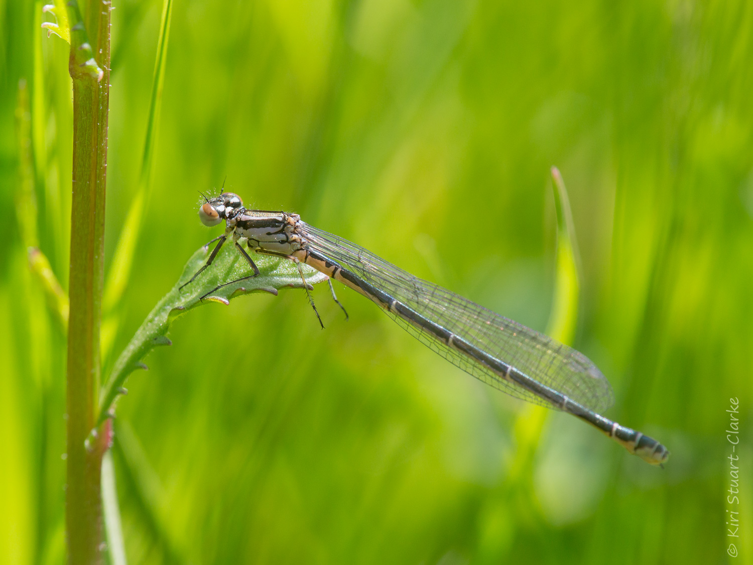 Immature Azure Damselflies are pale lilac (the females predominantly black as in their adult form) and have brown eyes.