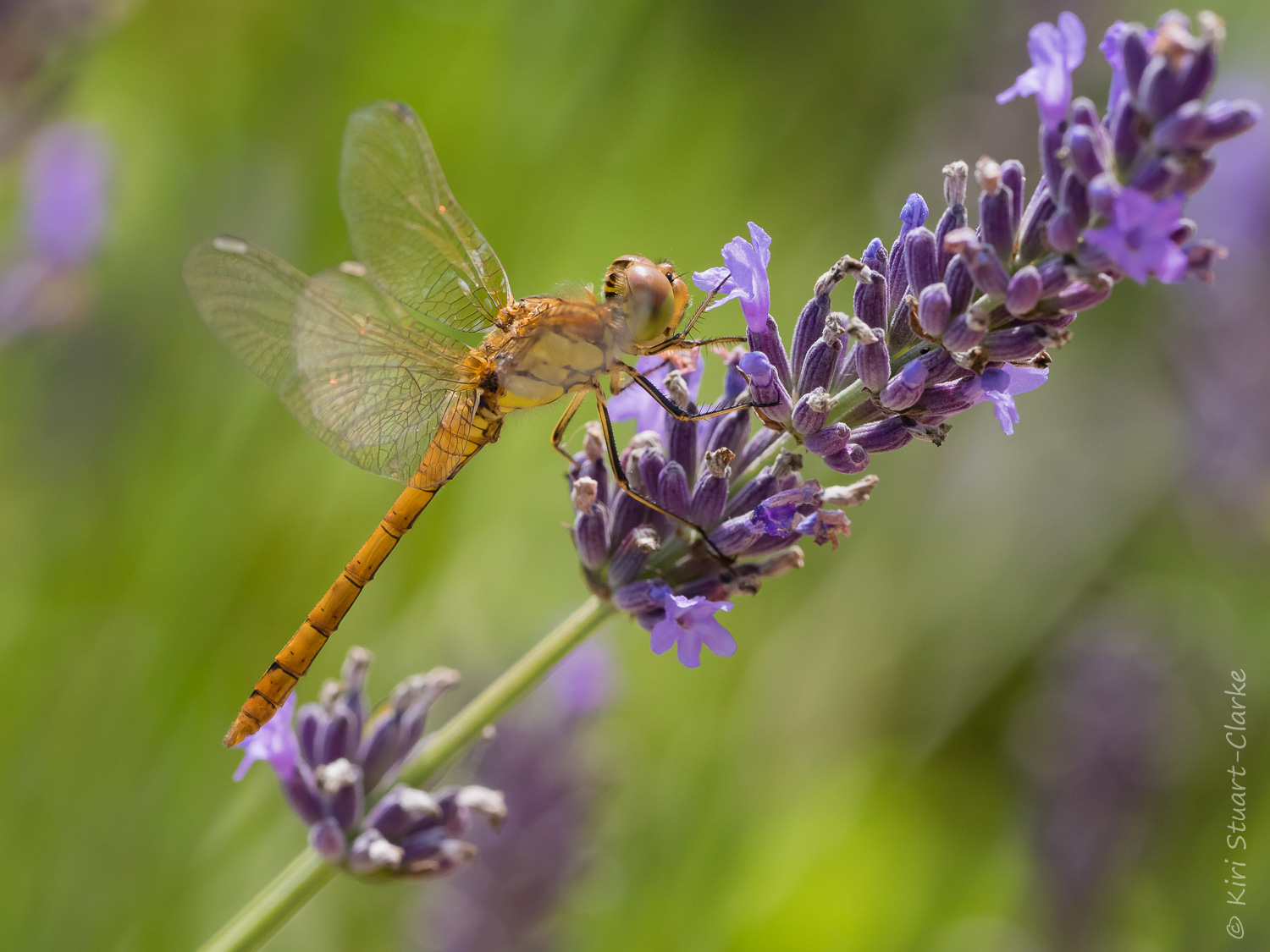 Common Darter On Lilac