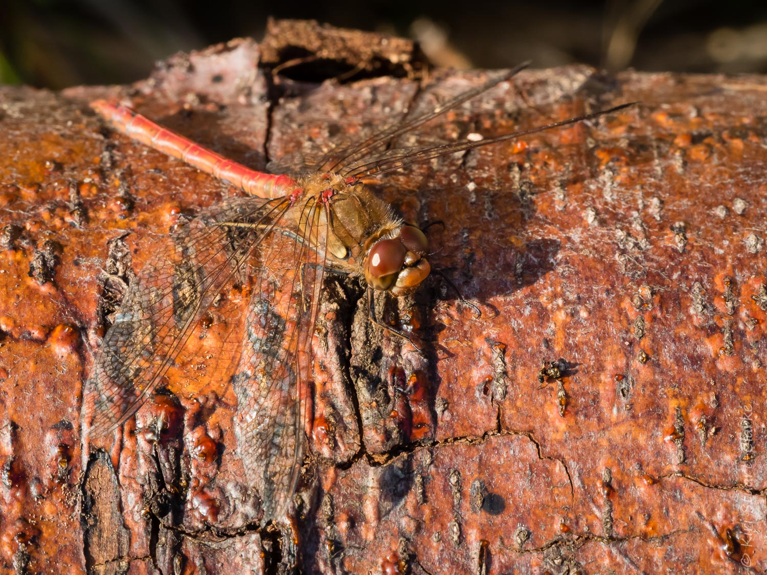 A red Common Darter dragonfly enjoying late October sunshine on a fallen pine tree
